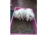 lovely pair of white male rabbits