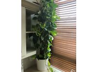 One Large Beautiful Devil's Ivy Plant in Nice White Ceramic Pot
