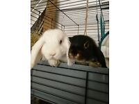 2 rabbits with cage