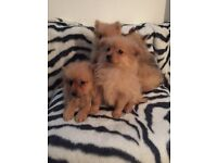 Pomeranian puppies ready now boys and girls