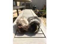 2 female guinea pigs ( long haired )