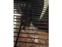 2 pet rats with cage and accessories 4 mths old