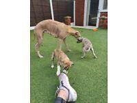 Whippet puppies KC reg