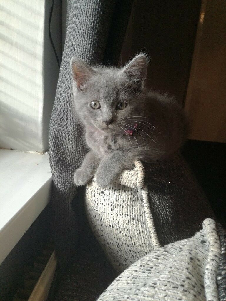 British blue shorthair kitten and russian blue cross
