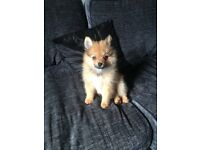 8 week old Pomeranian pup for sale