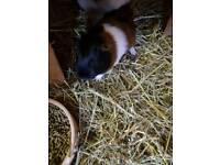 Guinea Pig Sow For Sale
