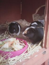 Young Female Guinea Pigs