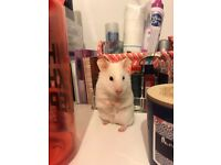 White Hamster free to a good home!