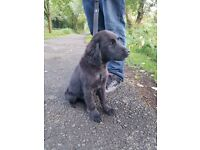 Flat-Coated retriever x golden retriever puppy