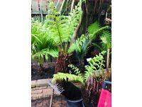 12-14 inch tree fern