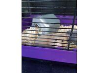 Female grey syrian hamster