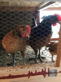 Pair of vorwerks (chickens, poultry, hens, roosters)