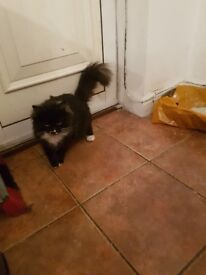 beautiful fluffy tail cat for sale