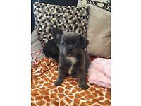 French bulldog x chihuahua