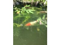 Pond of koi for sale (includes 5 large koi well over 12 inches - plus smaller)