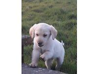 ONLY 3 LEFT golden labrador pups
