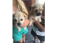 2 chihuahua / jug puppies