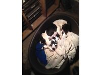 Jack Russell x wippet pups
