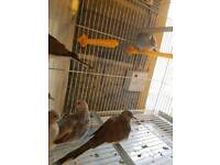 6 doves for sale