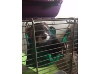 2 X Neutered Ferret Hobs & Cage