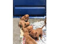 Dogue de Bordeaux cross puppies