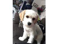 SOLD Male Cavachon Puppy 8months Old