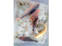 """Various koi between 4""""and7"""" £10-£15 each or the lot for £30"""