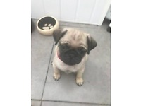 KC registered pug pups 2 left 🐶