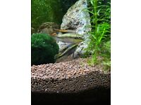 Kribensis Fish