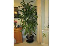 Yukka Ornamental house plant