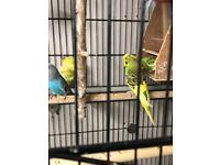 Budgies amd cages