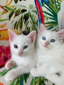 Pair of sweet female white kittens