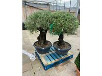 180 year old olive trees very large