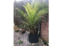 Palm tree Well established in beautiful garden pot