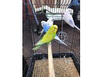 8 Budgies with Extra Large Cage