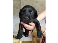 Full kc registered labrador pups