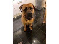 Dogue de Bordeaux x bullmastiff