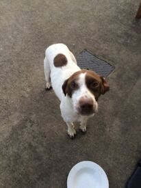 For sale English pointer