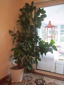 Rubber tree house plant.