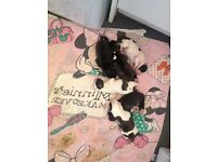2 boys and 1 girl staff puppies for sale