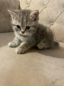 British sorthair kittens