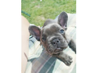 Blue French Bulldogs Ready Now