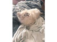 Gorgeous Ragdoll Kitten