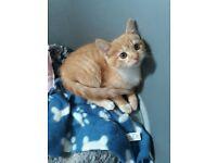 Ginger female kitten ready now