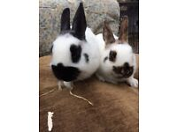 Mini Papillon rabbits for sale. Born on 18th Dec. 2 boys & a girl available