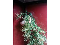 Abino garter and corn snake for sale