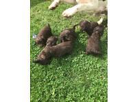 Cockerpoos puppies