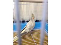 Cockatiel & cage for sale