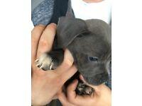 Puppy blue staff