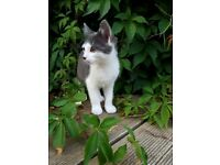 Cute Grey and White Male Kitten
